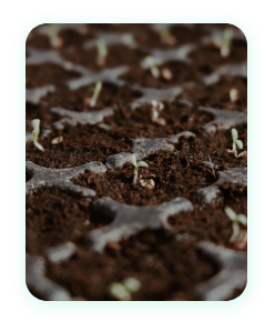 Benefit of seedlings- Hardened to minimize transplant loss
